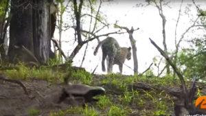 ratel vs leopard
