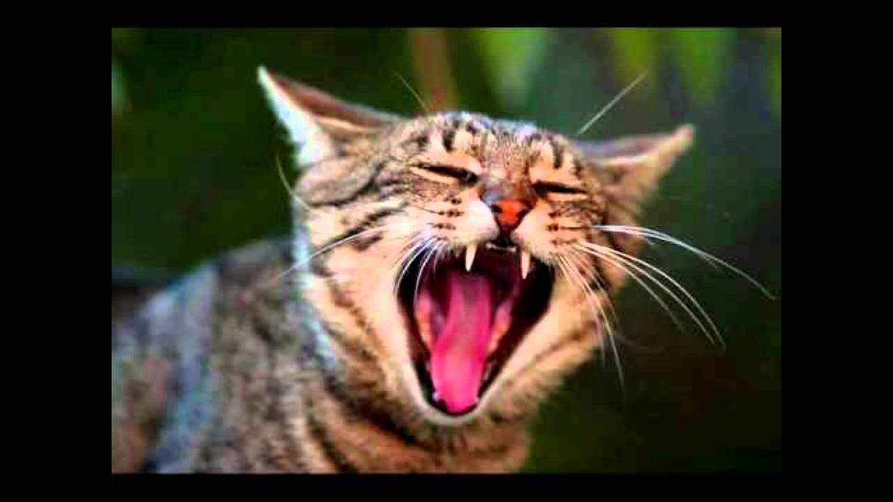 sonnerie chat miaule