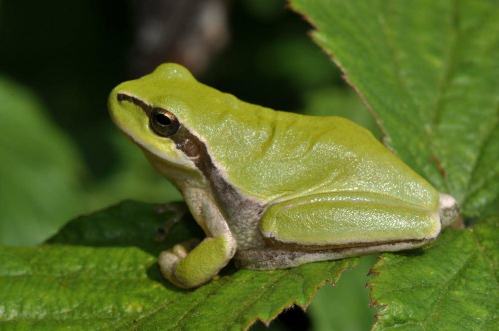 sonnerie grenouille