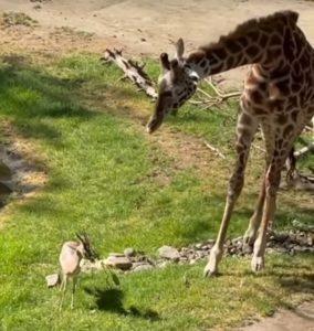 girafe vs gazelle